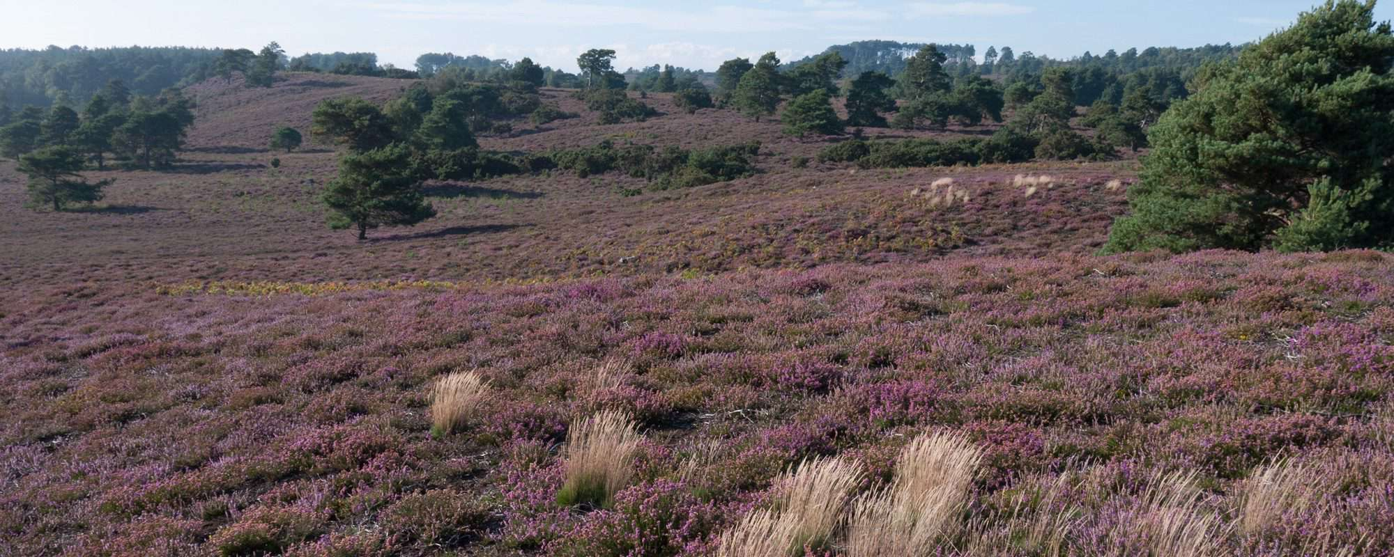 Image result for dorset heathland