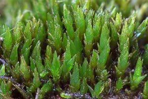 Cornish Path Moss - Ditrichum cornubicum - Des Callaghan 1800