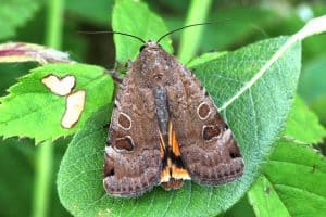 Lunar Yellow Underwing_Garry Barlow, Butterfly Conservation
