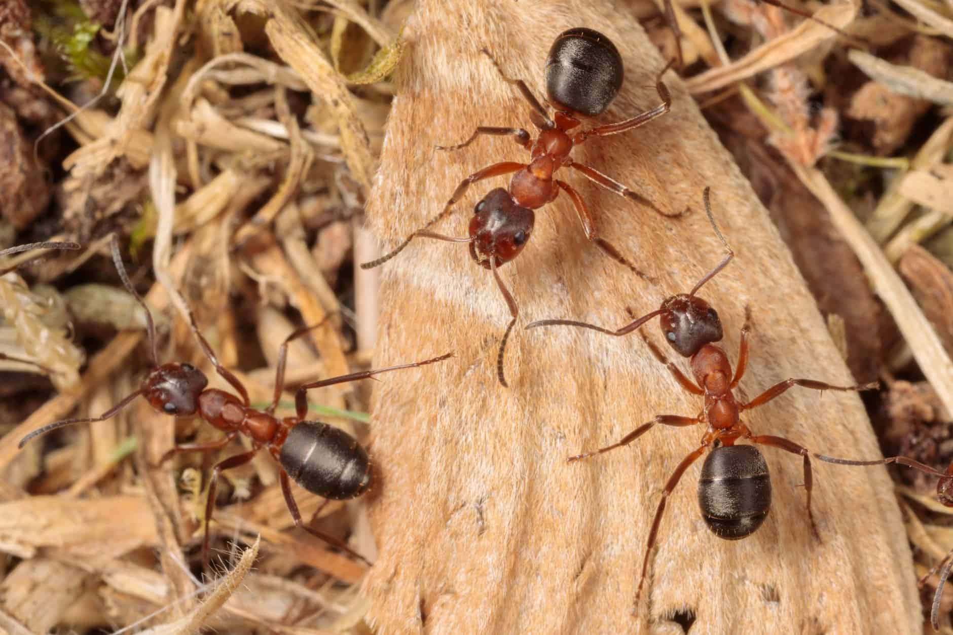 Narrow-headed Ant (Formica exsecta) - Back From The Brink