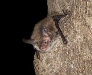 Bechstein's bat, Myotis bechsteinii