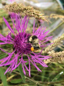 Shrill Carder Bee FM Knapweed 2 Daisy Headley