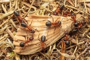 Narrow-headed Ants (Formica exsecta) feeding on a moth wing. South Devon, UK. May.