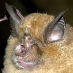 Greater Horseshoe - Gareth Jones Bat Conservation Trust