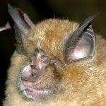 Greater Horseshoe - Gareth Jones Bat Conservation Trust