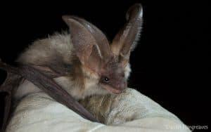 Grey long-eared bat - Daniel Hargreaves (imaged already credited)