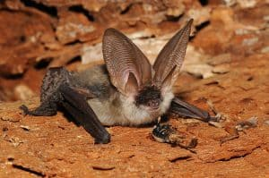 Grey Long-eared Bat Flickr Jan Svetlik (CC BY-NC-ND-2.0) 1024