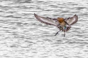 A head started godwit in the wild. Photo by Chris O'Riordan.