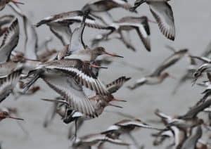 Black-tailed Godwits (c) Alan Humphreys