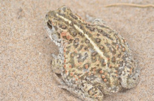 Natterjack - from ARC Gems in the Dunes page