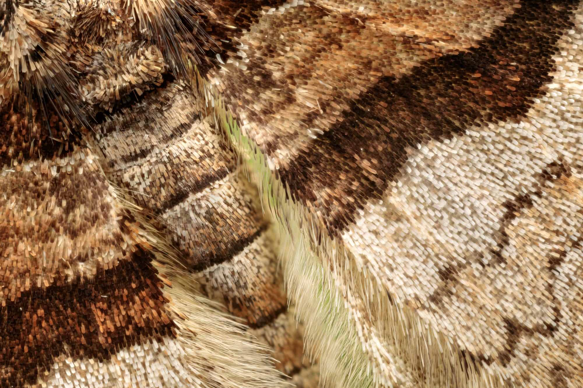 Close up scale detail of Barberry Carpet Moth (Pareulype berberata)
