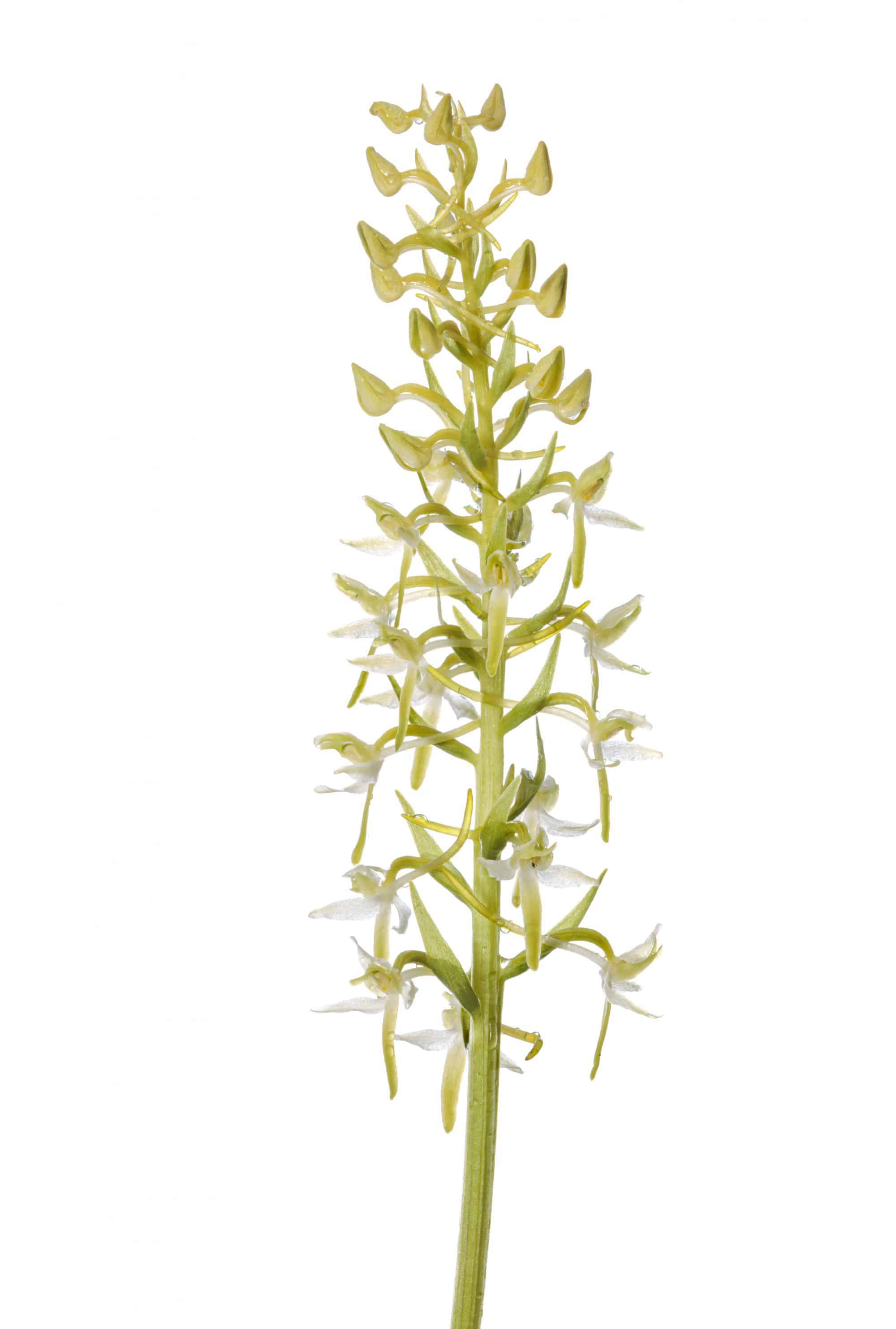 Lesser Butterfly Orchid (Platanthera bifolia) photographed against a white background. Dartmoor Natioanl Park, Devon. June.