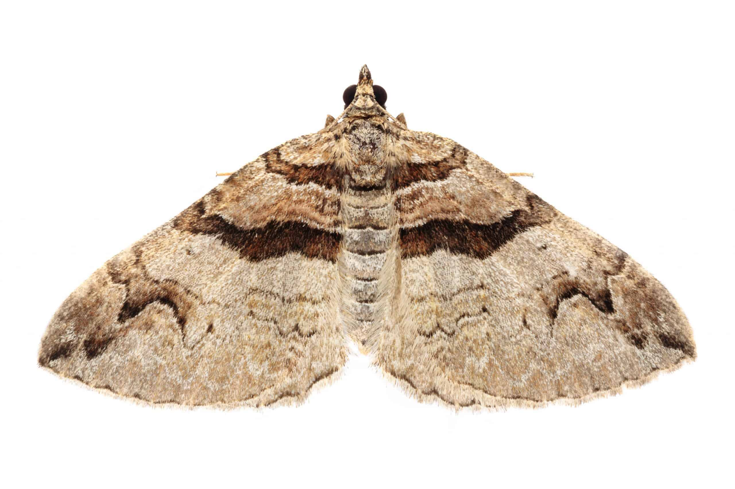 Barberry Carpet Moth (Pareulype berberata) photographed on a white backgroun in mobile field studio.