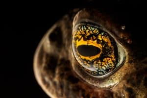 Natterjack Toad (Epidalea calamita) detail of eye, Sefton Coast,  Merseyside, UK. April. Photographed under licence. Photographer: Alex Hyde