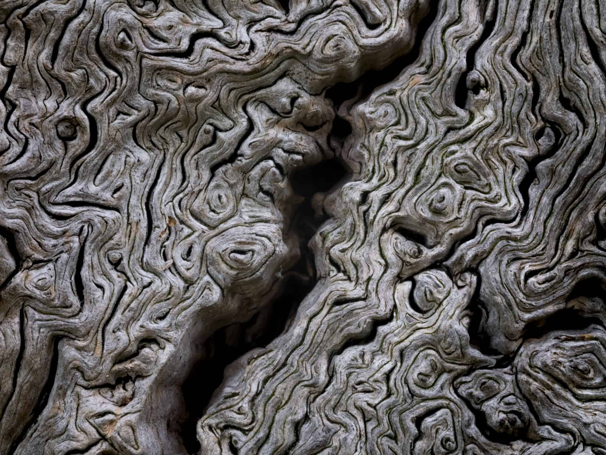 Detail of fissured wood of an ancient oak tree, Moccas Park National Nature Reserve, Herefordshire, England