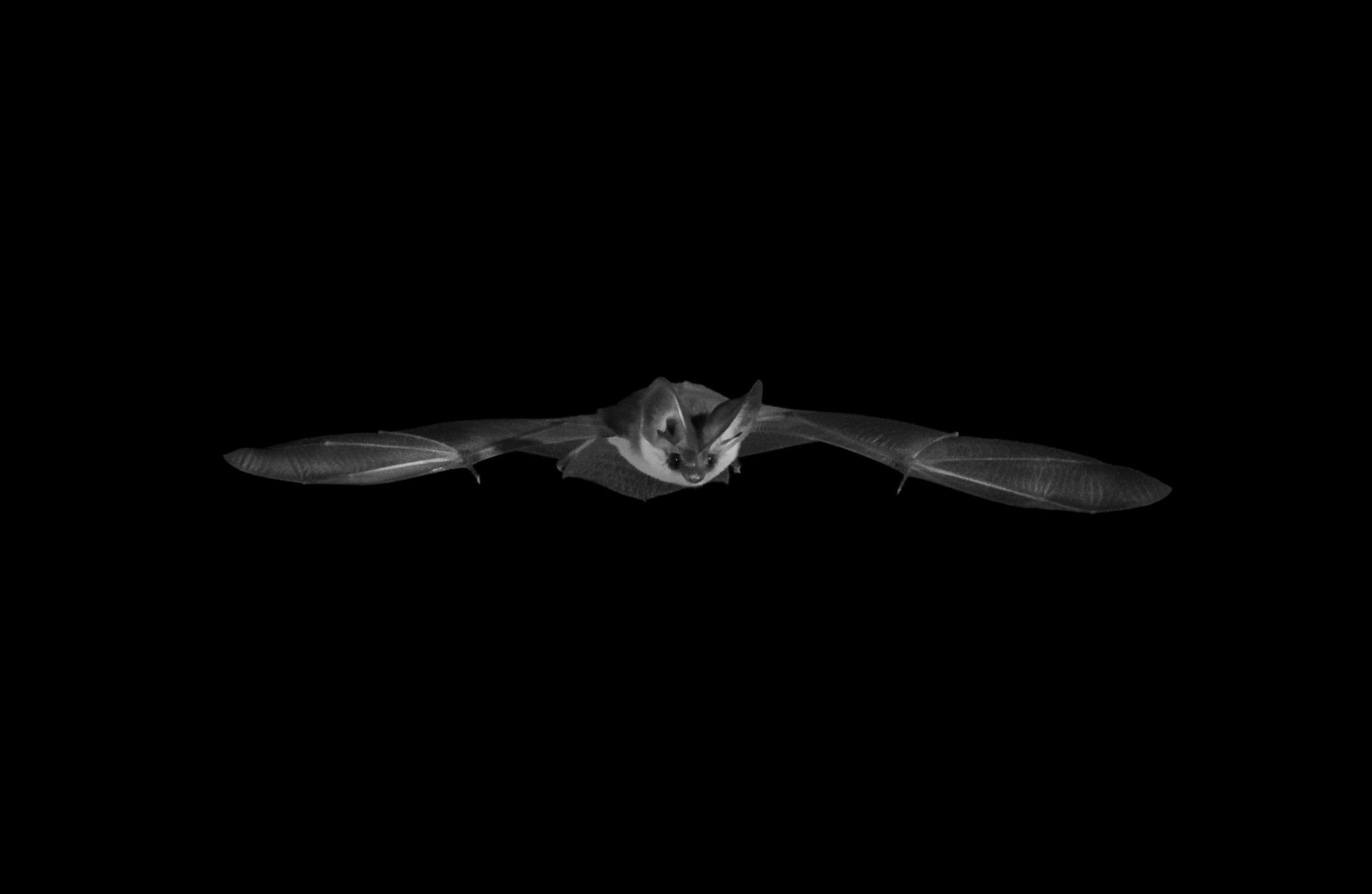 A grey long-eared bat (Plecotus austriacus) emerges from its roost in a barn in Devon, England to hunt on a summer night. This photograph was taken as part of the Back from the Brink project and was taken ethically using red light fliters to avoid disturbance to the bats. The grey long-eared bat is classified as Near Threatened by the IUCN and is Britain's rarest breeding bat.