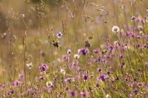 Rough Bank SSSI, a flower-rich limestone grassland reserve. Gloucestershire, July.