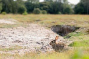 Rabbit activity - Breckland Ecosystem