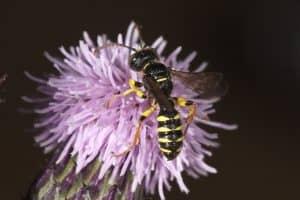 5 Banded Tailed Digger Wasp - Cerceris quinquefasciata (c) Mike Edwards 1024
