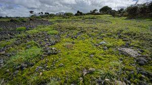 Cornish Path Moss - Ditrichum cornubicum3 - Des Callaghan