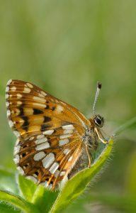 Duke of Burgundy - Hamearis lucina_Leigh Prevost, Butterfly Conservation