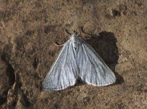 Grey Carpet - Lithostege griseata (C) Patrick Clement, Flickr, CC BY 4.0
