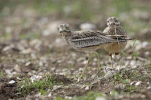 Wessex Stone curlew project. Stone curlew Oedicnemus burhinus, adults changing over (sitting), at their nest on a plot managed specially for them. Winterbourne Downs RSPB reserve. Wiltshire, England. July 2009.