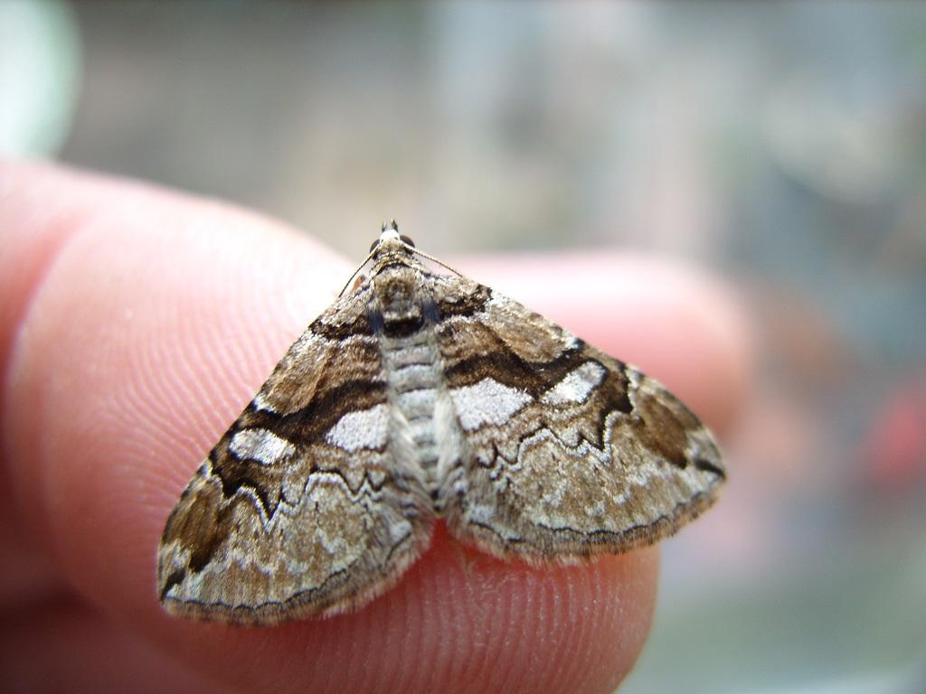 Barberry Carpet Moth (c) Ian Hughes