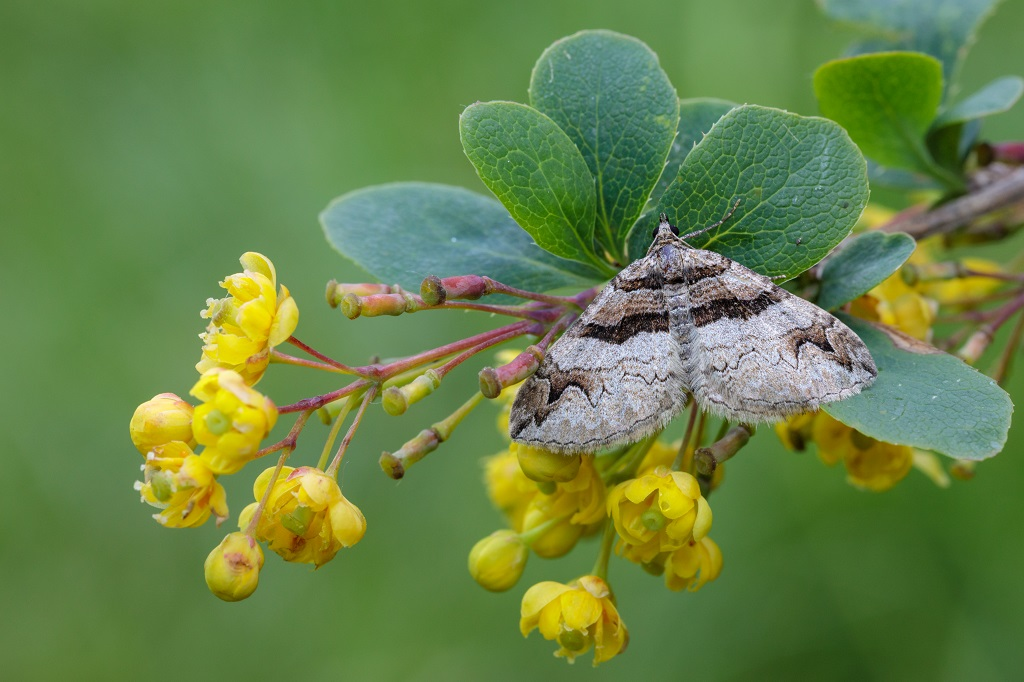 Barberry Carpet Moth on Barberry