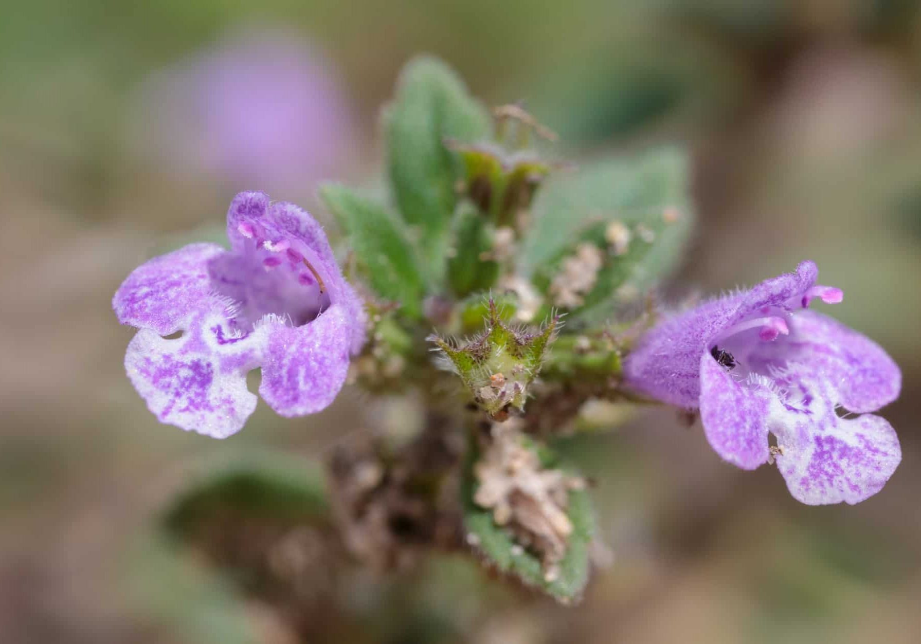 Basil Thyme (Clinopodium acinos). Back from the Brink 'Shifting Sands' project, Suffolk, UK. July.