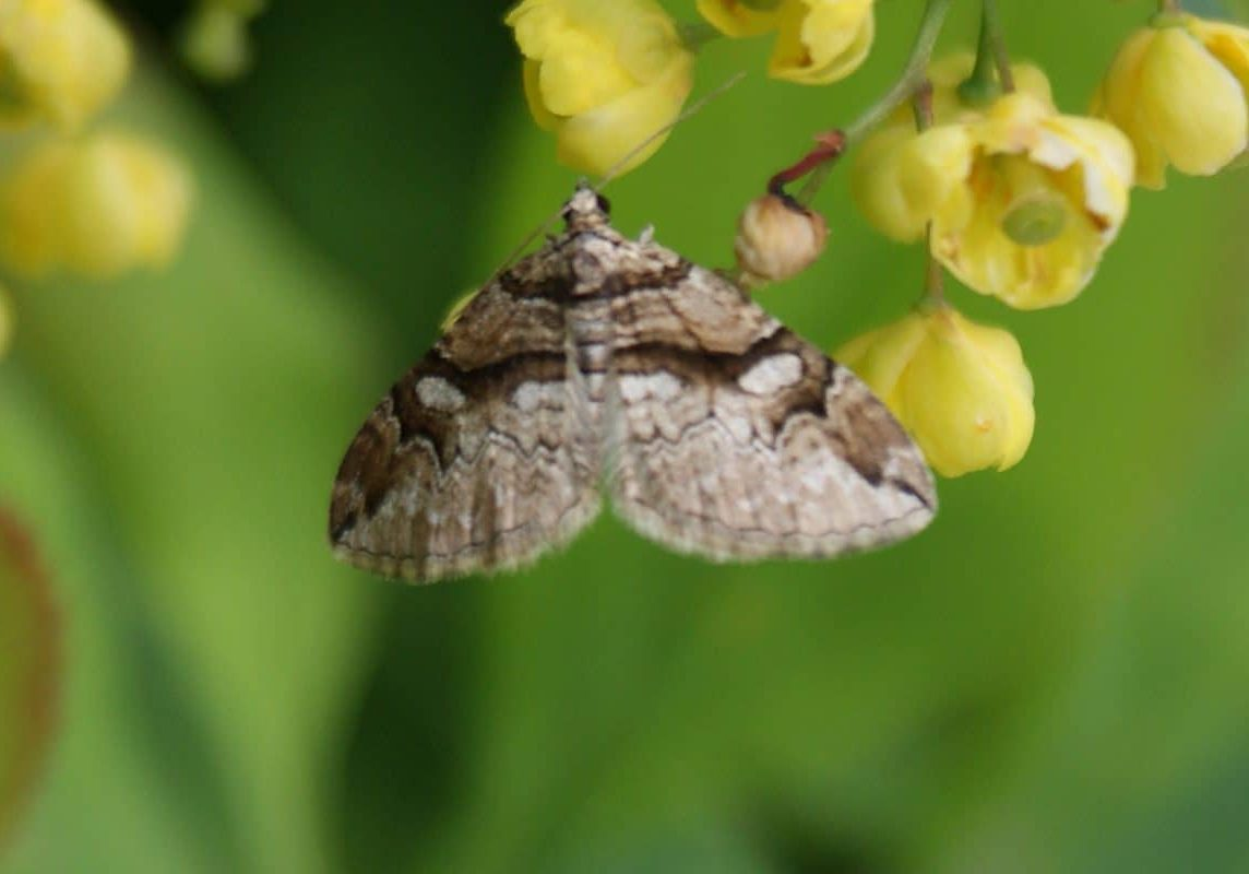 Barberry-Carpet-on-Barberry_Ian-Hughes,-Butterfly-Conservation