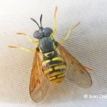 Broken-banded Wasp Hoverfly