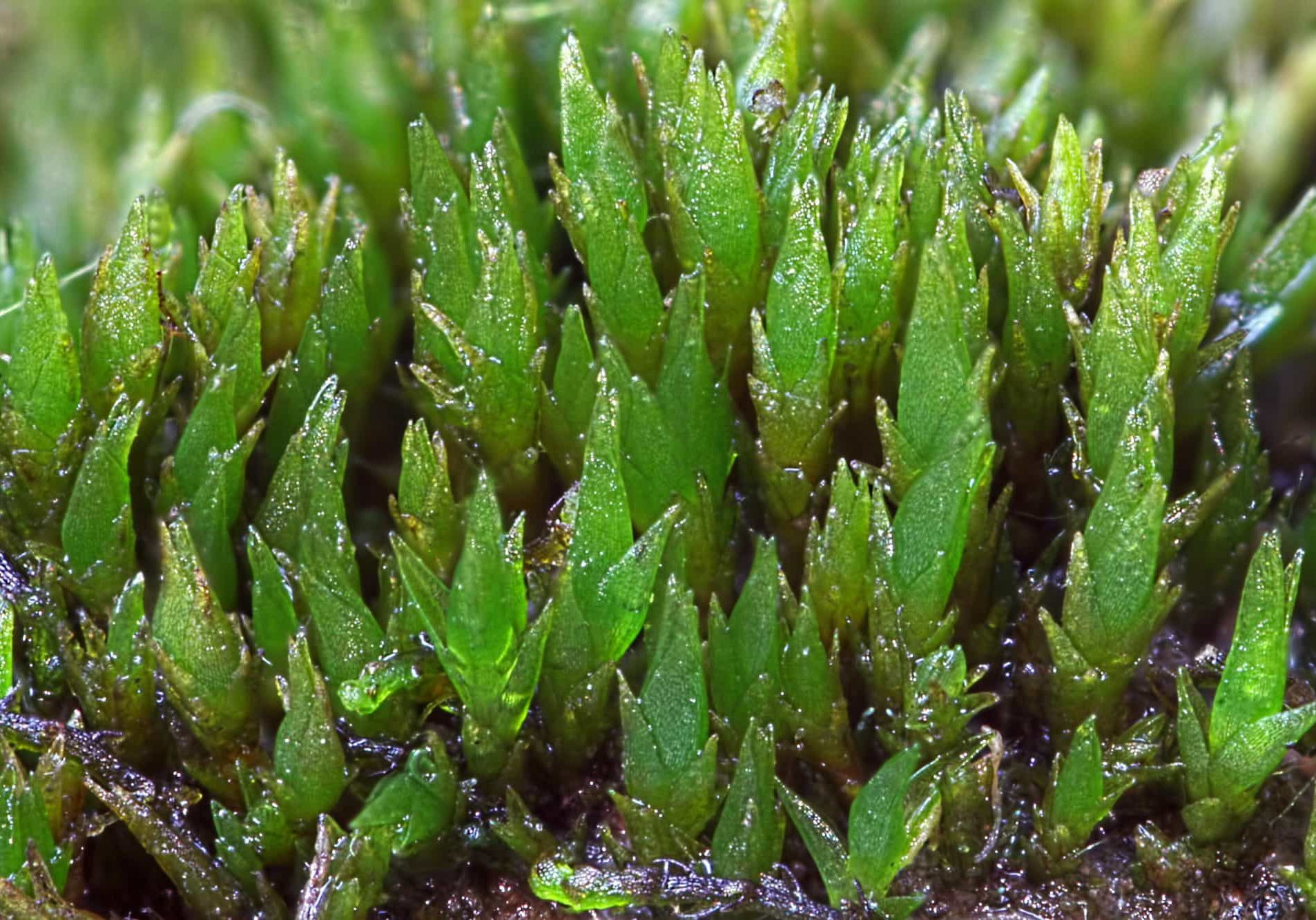 Ditrichum-cornubicum---Des-Callaghan