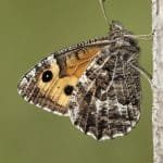 Grayling_Iain H Leach, Butterfly Conservation