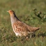 Grey partridge RSPB cropped