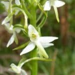 Lesser Butterfly Orchid, Mike Ingram