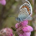 Silver-studded_Blue_James_Lowen_1709 - 1880