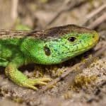 Male Sand Lizard (Lacerta agilis) on dune system at Ainsdale Nature Reserve, Merseyside, UK. May. Photographed under licence.